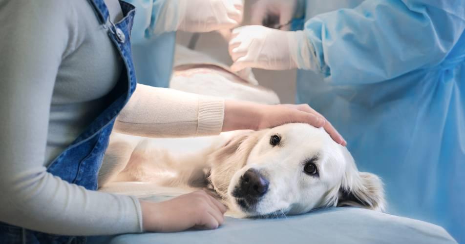 Biały pies podczas zabiegu