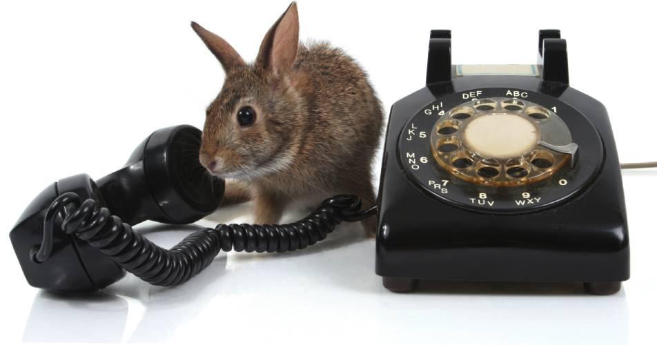 Królik itelefon